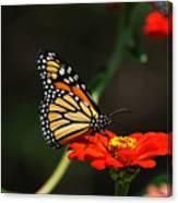 Monarch 6 Canvas Print
