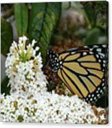 Monarch And The Butterfly Bush  Canvas Print