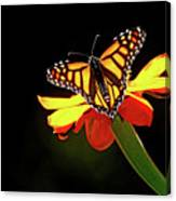 Monarch And Tithonia Light And Shadow Canvas Print