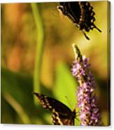 Monarch Butterflies In Spring At Wakulla Springs Canvas Print
