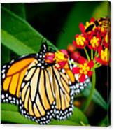 Monarch Butterfly At Lunch With 2 Box Elder Bugs Canvas Print