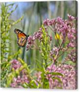 Monarch Butterfly In Joe Pye Weed Canvas Print