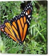 Monarch Butterfly In Lush Leaves Canvas Print