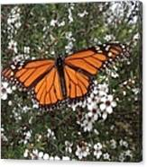 Monarch Butterfly On New Zealand Teatree Bush Canvas Print
