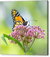 Monarch Butterfly On Swamp Milkweed Canvas Print