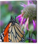 Monarch Butterfly Posing Canvas Print