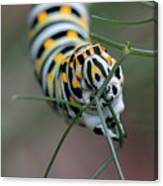 Monarch Caterpillar Clutches Dill In Pincers, Macro Canvas Print
