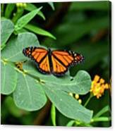 Monarch Butterfly Resting On Cassia Tree Leaf Canvas Print