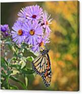 Monarch Feeding Canvas Print
