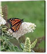Monarch On A Butterfly Bush Canvas Print