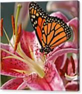 Monarch On A Stargazer Lily Canvas Print