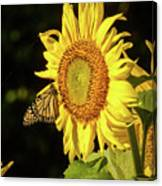 Monarch On A Sunflower Canvas Print