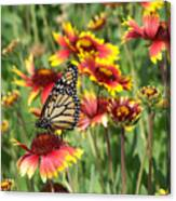 Monarch On Blanketflower Canvas Print