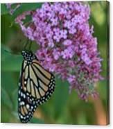 Monarch On Butterfly Bush Canvas Print