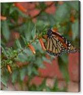 Monarch On Cigar Plant Canvas Print