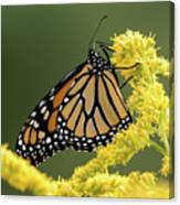 Monarch On Goldenrod Canvas Print