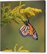 Monarch On Goldenrod Canvas Print