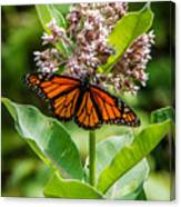Monarch On Milk Weed Canvas Print
