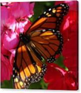 Monarch On Summer Geraniums Canvas Print