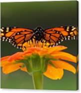 Monarch Orange Canvas Print