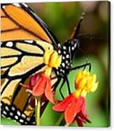 Monarch Pollination 1 Canvas Print