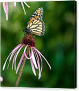 Monarched Coneflower Canvas Print