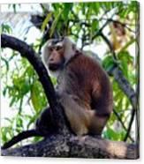 Monkey In Tree Canvas Print