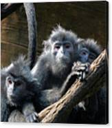 Monkey Trio Canvas Print