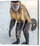 Monkey_0726 Canvas Print