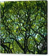 Monkeypod Canopy Canvas Print