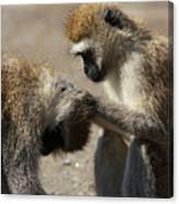 Monkeys Grooming Canvas Print