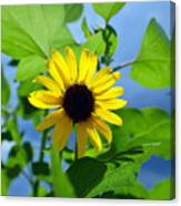 Monsoon Sunflower Canvas Print
