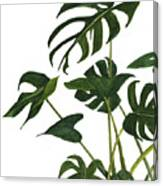 Monstera Bunch  Canvas Print