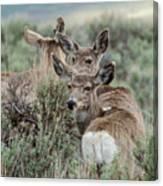 Montana Mule Deer On A Spring Night Canvas Print