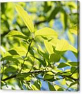 Monterrey Oak Leaves In Spring Canvas Print