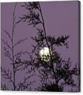 Moon Trees Canvas Print