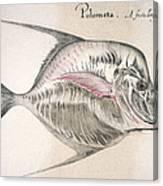 Moonfish, 1585 Canvas Print
