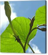 Moonflower Vine Bud To The Sky Canvas Print