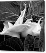 Moonlight/moonflower Canvas Print