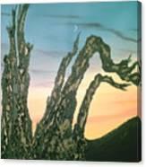 Moonset-bristlecone Pine Canvas Print