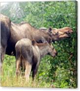 Moose And Calf Forage Canvas Print