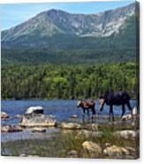 Moose Baxter State Park Maine 2 Canvas Print