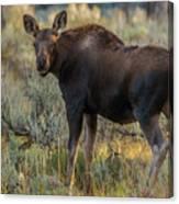 Moose Calf In Fall Colors Canvas Print