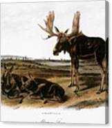 Moose Deer (cervus Alces) Canvas Print