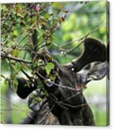 Moose Eating Crab Apple Tree Canvas Print
