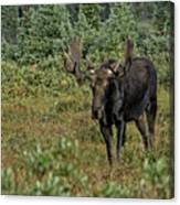 Moose In Shrubs Canvas Print