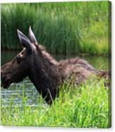 Moose In The Pond - 1 Canvas Print