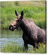 Moose In The Pond - 2 Canvas Print