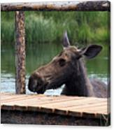 Moose In The Pond Canvas Print