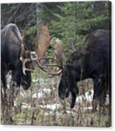 Moose. Males Fighting During The Rut Canvas Print